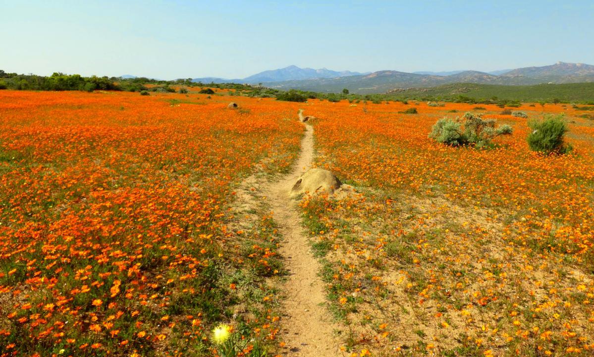 fleurs du namaqualand en afrique du sud