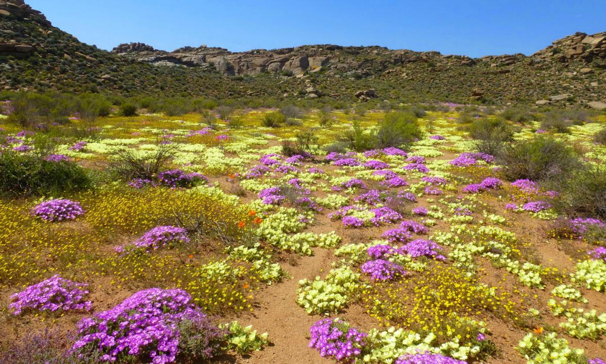 fleurs du namaqualand