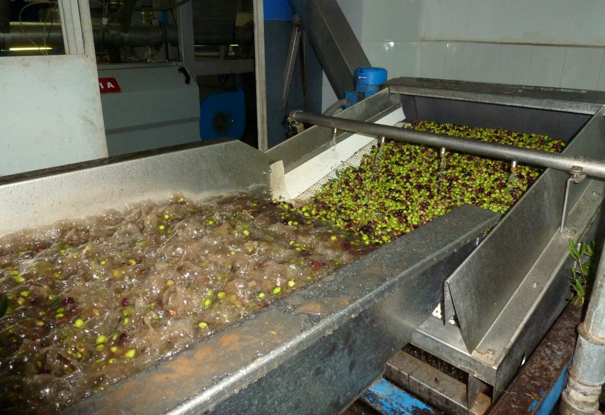 faire de l'huile d'olive : exemple de kalamata en grèce