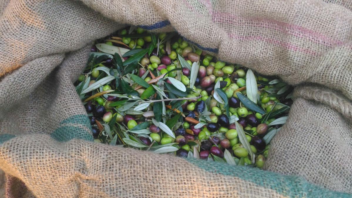 récolter les olives à kalamata