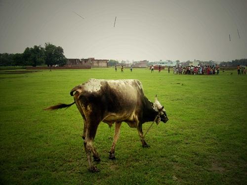 Vache sacrée en Inde