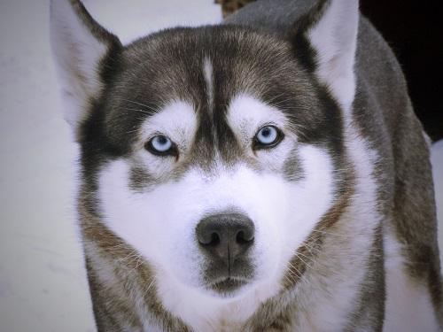 Husky, chien de traîneau, Québec