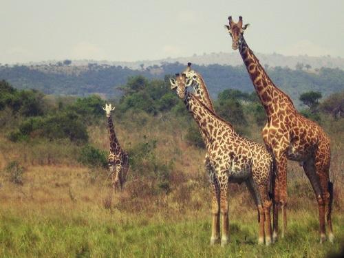 Girafes, Akagera, Rwanda