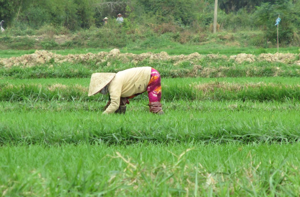 rizières, vietnam du sud