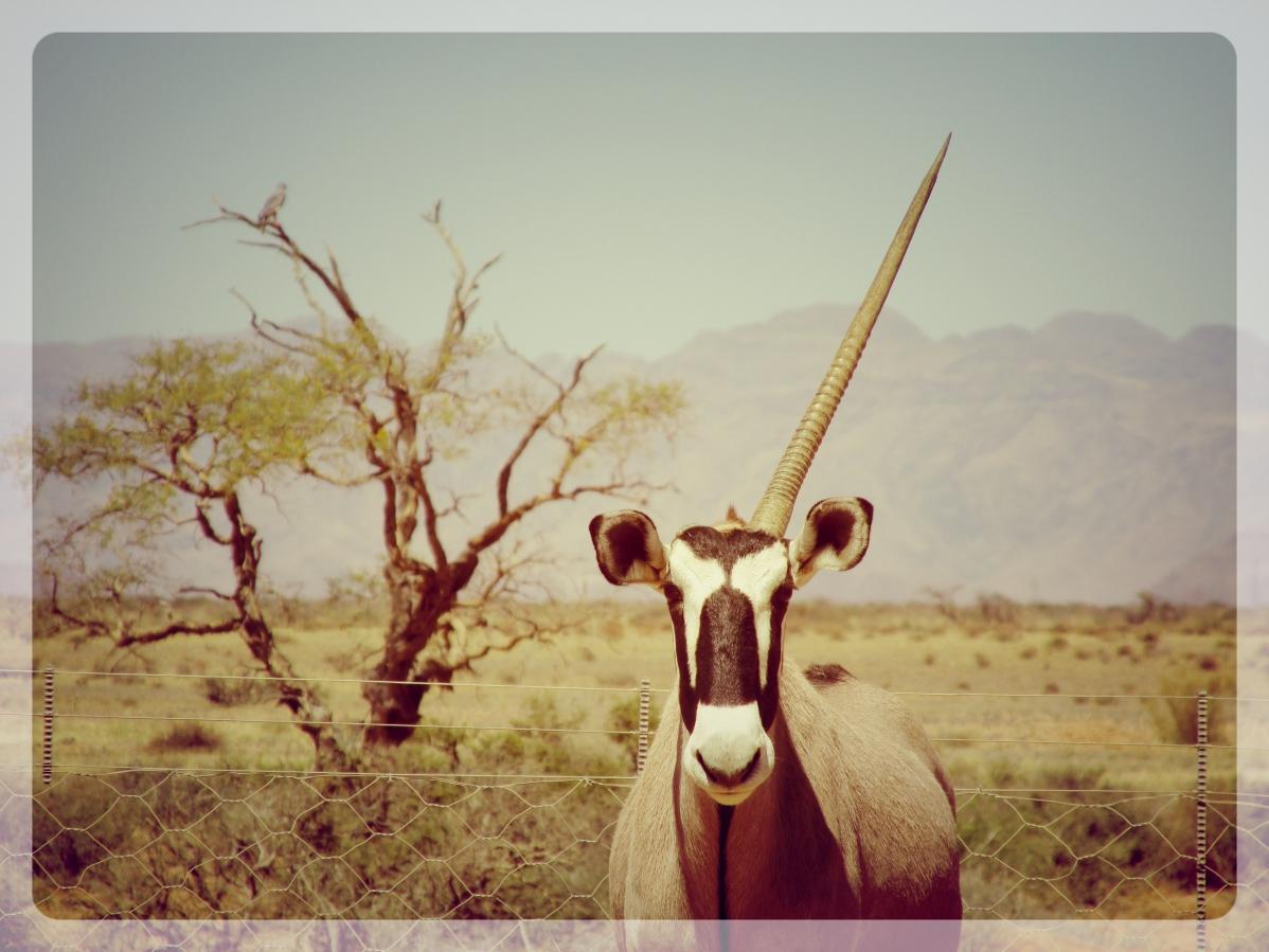 licorne namibie