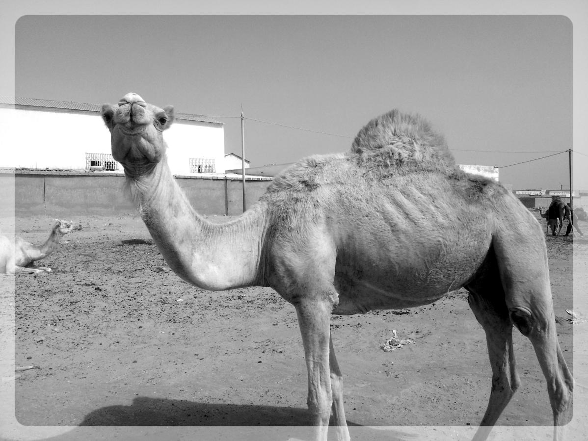 dromadaire mauritanie
