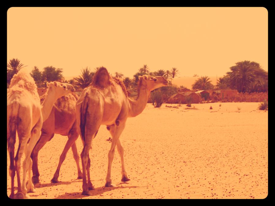 dromadaires maroc