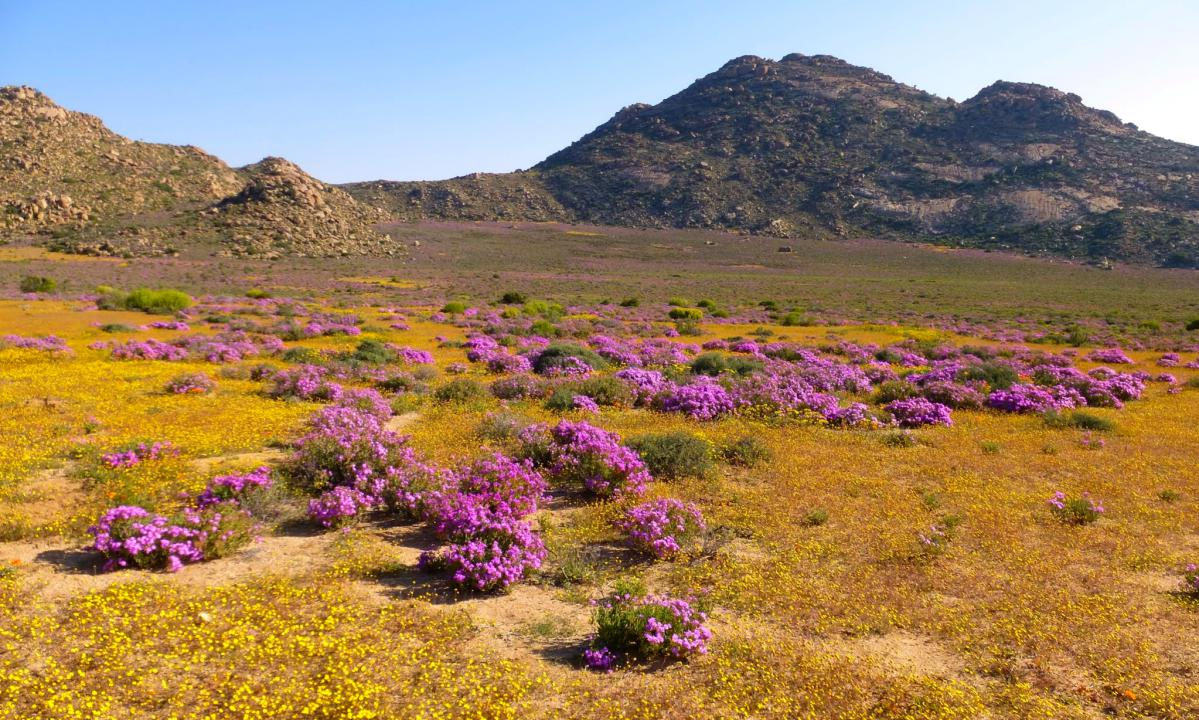 Plongée au cœur du Namaqualand, désert fleuri d'Afrique du Sud