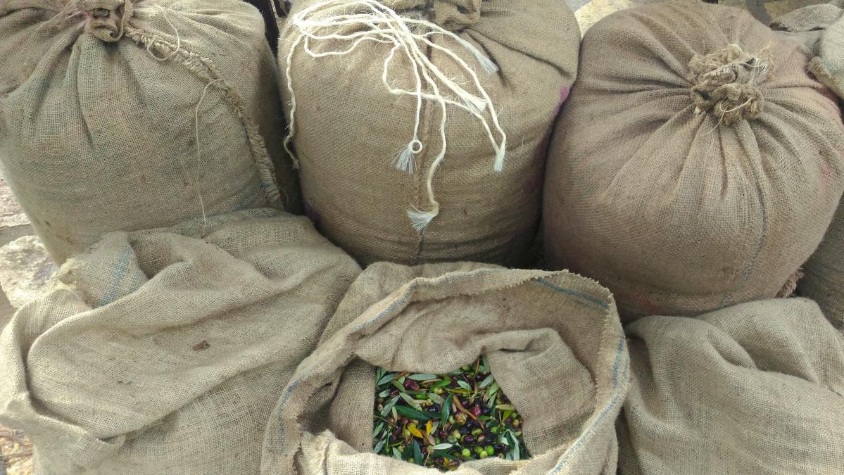 Olives de kalamata : ramassage