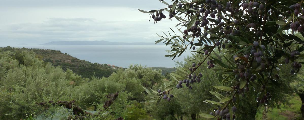 Les olives de Kalamata : l'or noir de toute une région