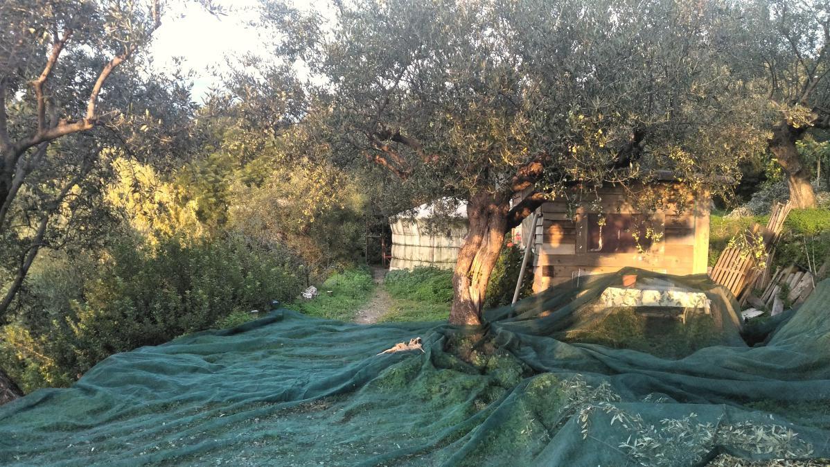 récolte des olives à kalamata