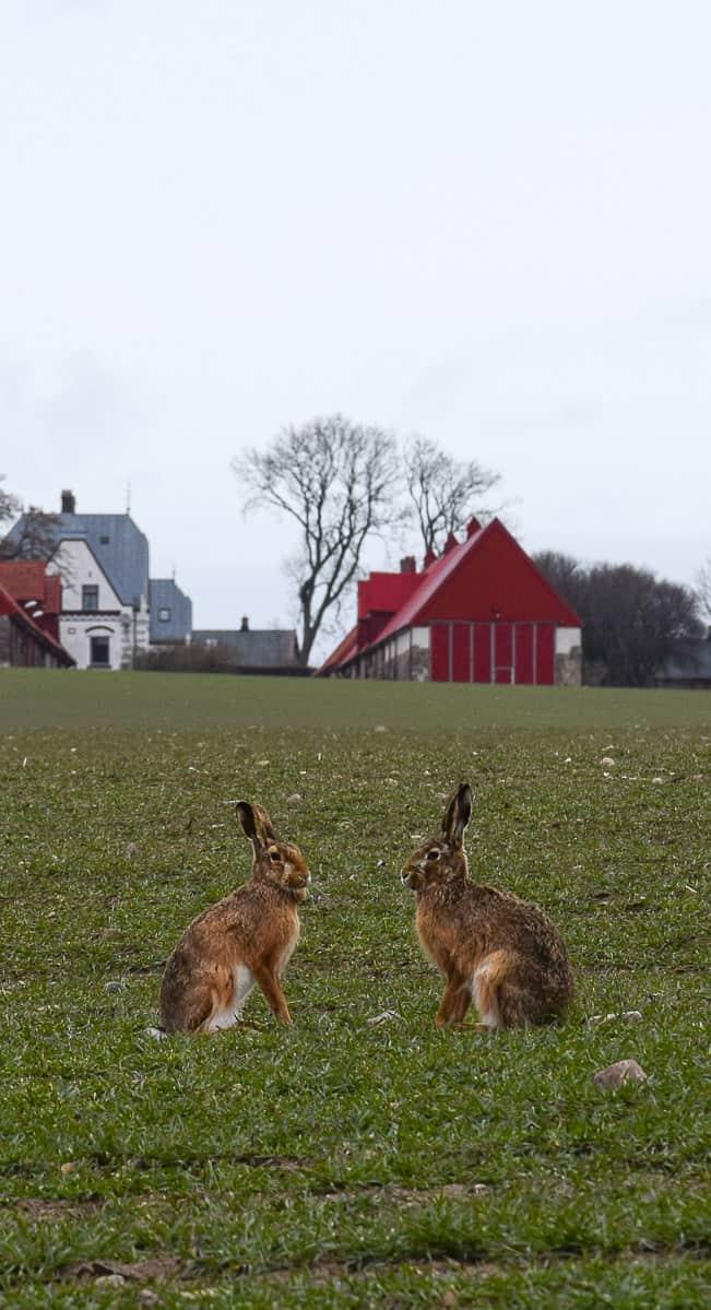 Lièvres sur l'île de Ven, au Sud de la Suède... | Histoires de tongs, le blog voyage passionnément alternatif